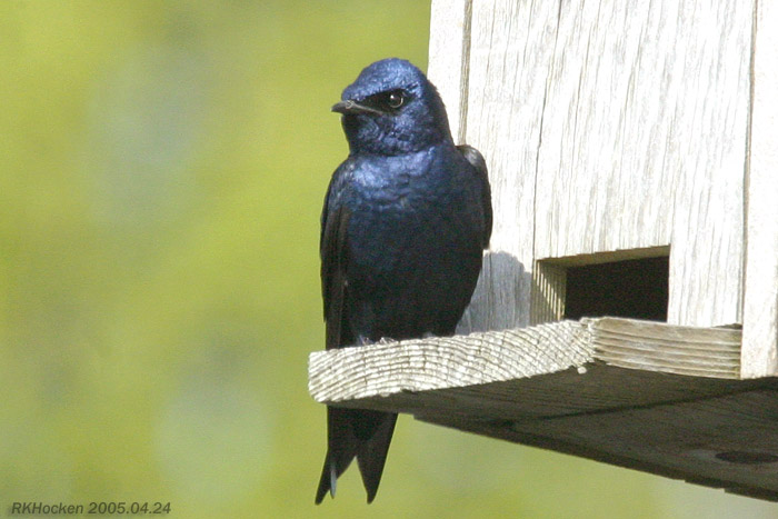 Photo (2): Purple Martin