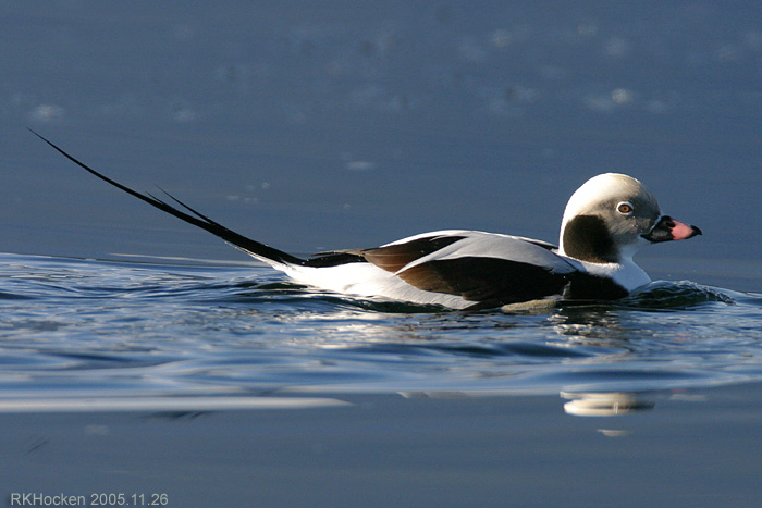 Photo (5): Long-tailed Duck