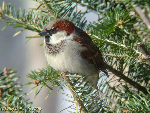 Photo (10): House Sparrow