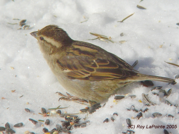 Photo (13): House Sparrow