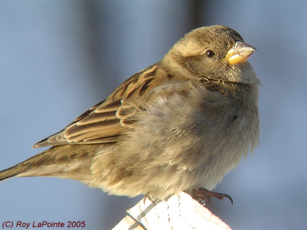 Photo (5): House Sparrow