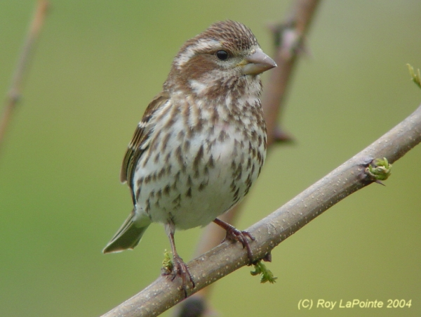 Photo (6): Purple Finch