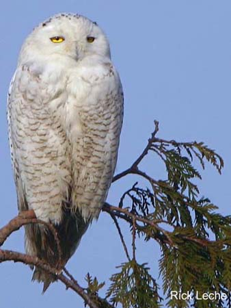 Photo (1): Snowy Owl
