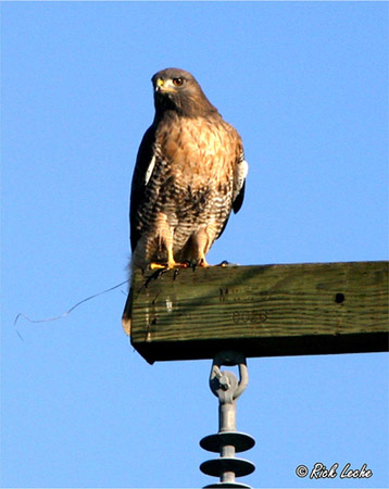 Photo (14): Red-tailed Hawk