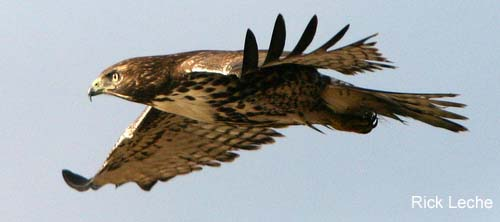 Photo (10): Red-tailed Hawk