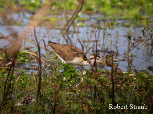 Photo (25): Northern Jacana