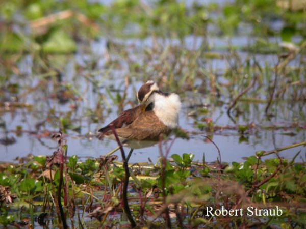 Photo (26): Northern Jacana
