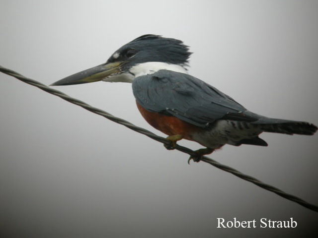 Photo (2): Ringed Kingfisher