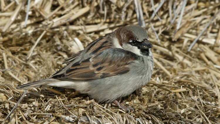 Photo (1): House Sparrow