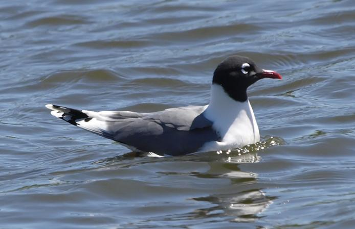 Photo (2): Franklin's Gull