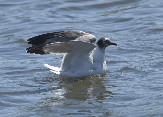Photo (16): Franklin's Gull