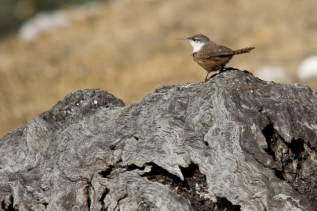 Photo (7): Canyon Wren