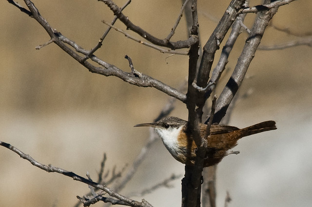 Photo (6): Canyon Wren