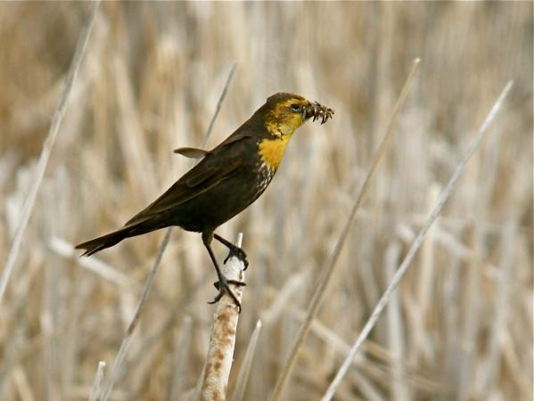 Photo (8): Yellow-headed Blackbird