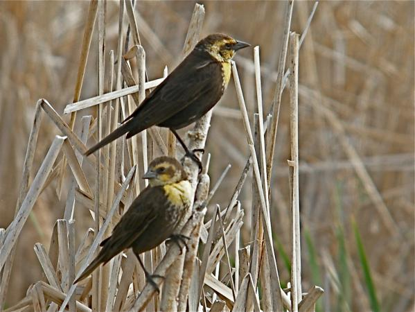 Photo (9): Yellow-headed Blackbird