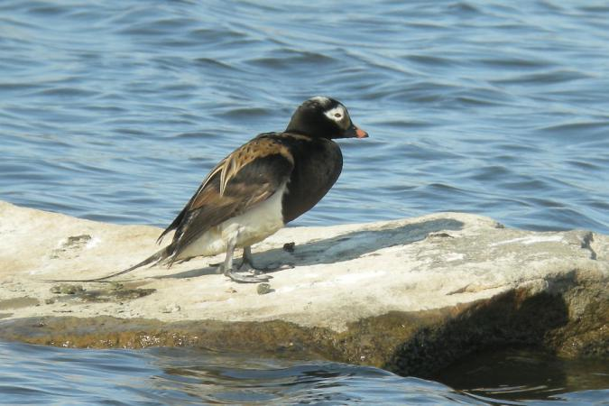 Photo (1): Long-tailed Duck