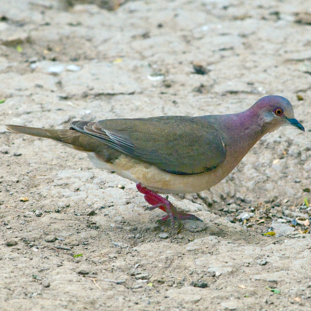 Photo (4): White-tipped Dove