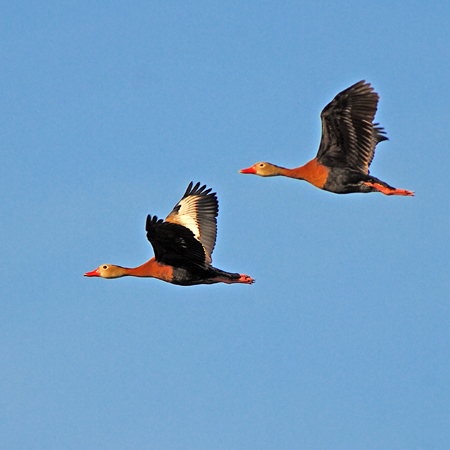 Photo (8): Black-bellied Whistling-Duck