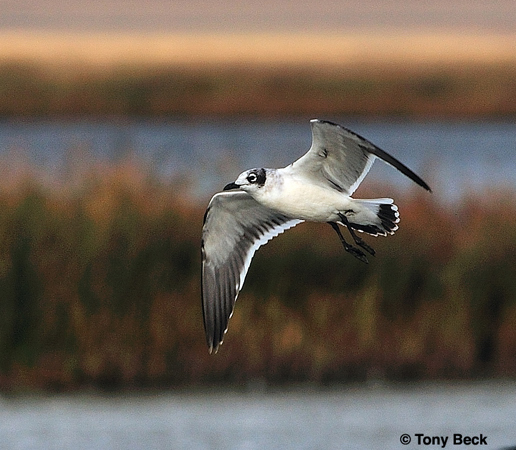 Photo (17): Franklin's Gull