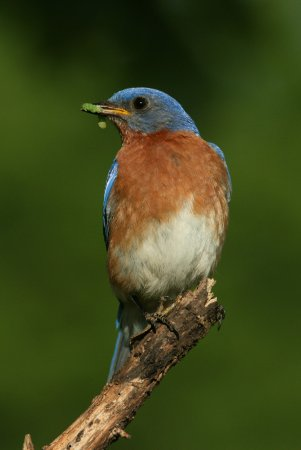 Photo (13): Eastern Bluebird