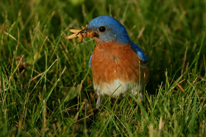 Photo (10): Eastern Bluebird