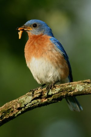 Photo (11): Eastern Bluebird