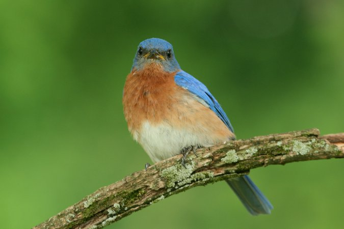 Photo (9): Eastern Bluebird
