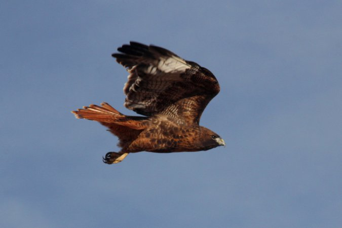 Photo (6): Red-tailed Hawk