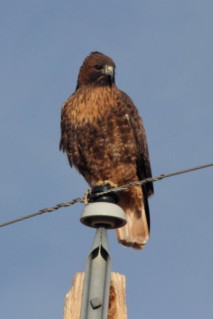 Photo (13): Red-tailed Hawk