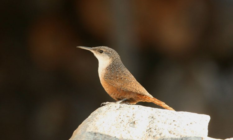 Photo (1): Canyon Wren