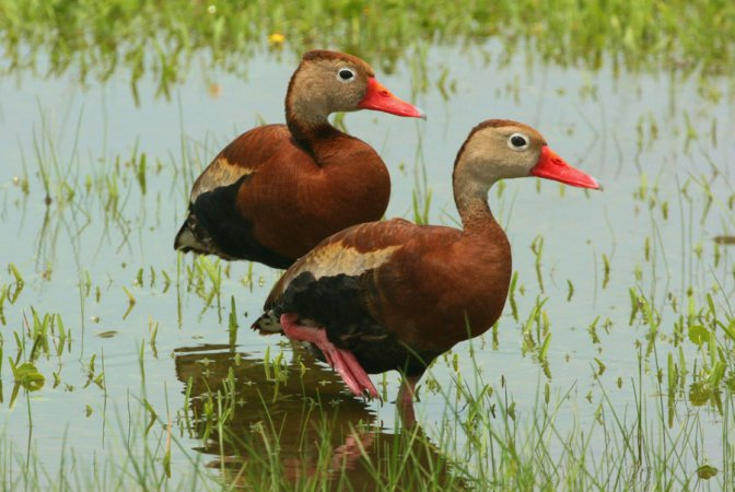 Photo (1): Black-bellied Whistling-Duck