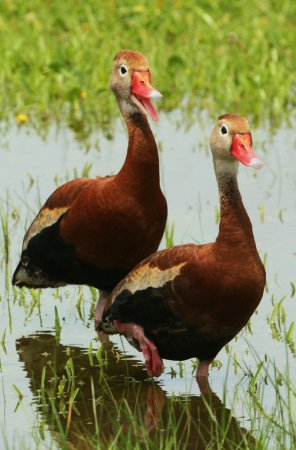 Photo (5): Black-bellied Whistling-Duck