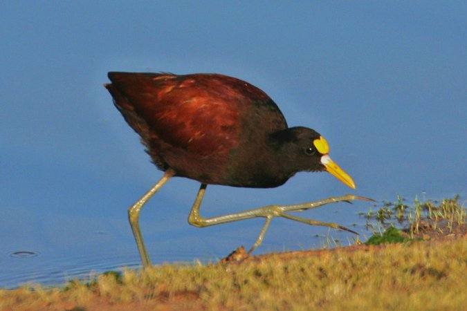 Photo (8): Northern Jacana