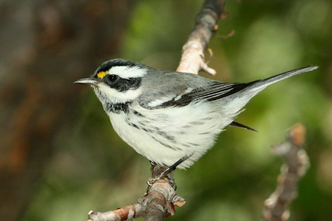 Photo (8): Black-throated Gray Warbler
