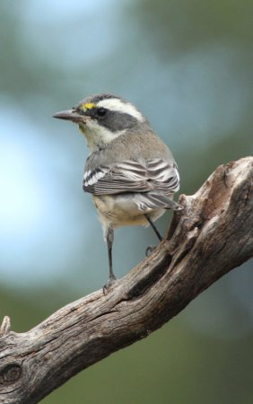 Photo (21): Black-throated Gray Warbler