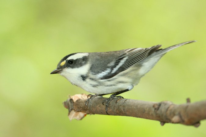 Photo (22): Black-throated Gray Warbler