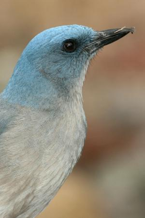 Photo (3): Mexican Jay