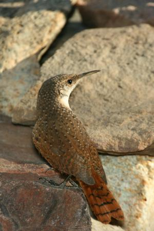 Photo (4): Canyon Wren