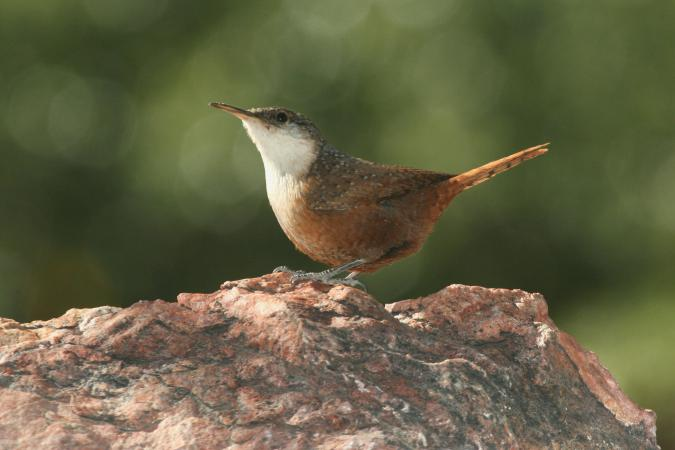 Photo (3): Canyon Wren