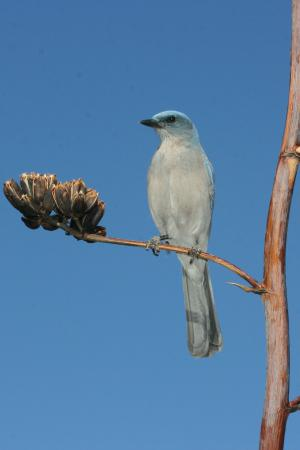 Photo (4): Mexican Jay