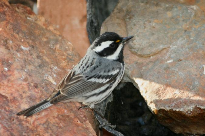 Photo (4): Black-throated Gray Warbler