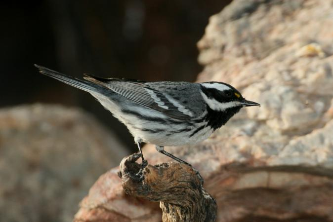 Photo (7): Black-throated Gray Warbler