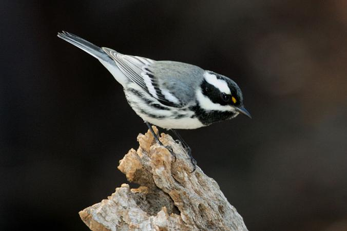 Photo (1): Black-throated Gray Warbler