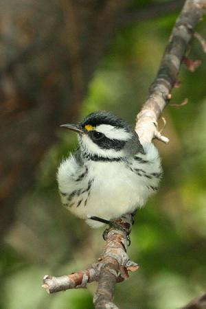 Photo (10): Black-throated Gray Warbler