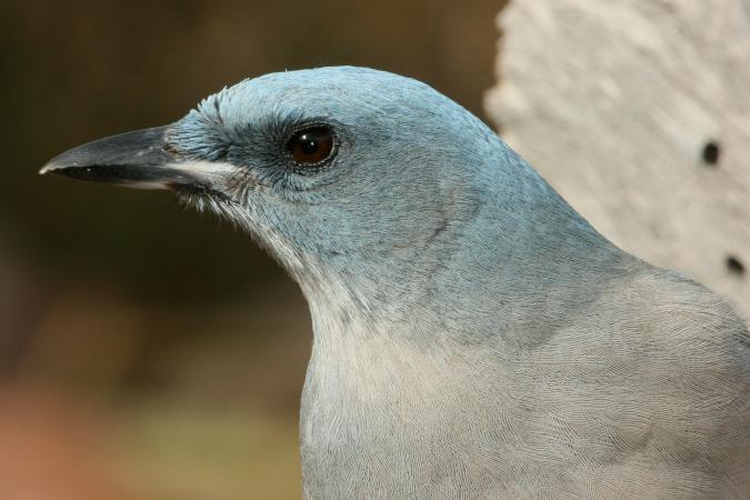 Photo (5): Mexican Jay