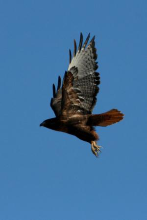 Photo (9): Red-tailed Hawk