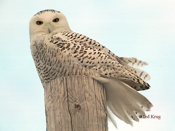 Photo (2): Snowy Owl