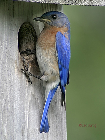 Photo (23): Eastern Bluebird