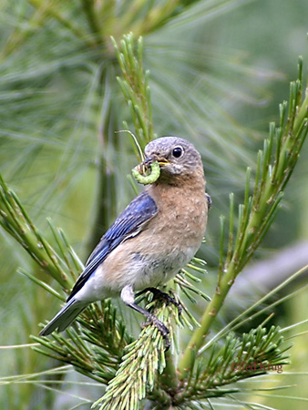 Photo (25): Eastern Bluebird