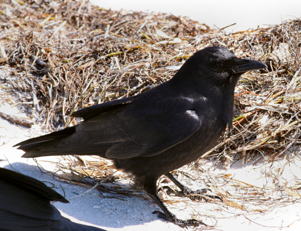 Dendroica canada fish crow corvus ossifragus for Fish crow call